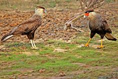 Southern Caracara: Immature(L), Adult (R). By Peter Wallack