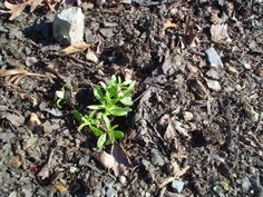 Sweet William Seedlings