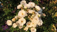 kräftig wachsende weiße  Kletterrose Hella zusammen mit C.viticella Prince Charles und Etoile de Violette