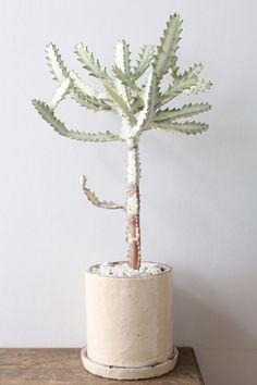 Shade Garden Flowers And Decor Ideas Euphorubia Lactea Variegata White Ghost Cacti And Succulents, Planting Succulents, Potted Plants, Garden Plants, Indoor Plants, Planting Flowers, Diy Plante, Cactus Plante, Decoration Plante