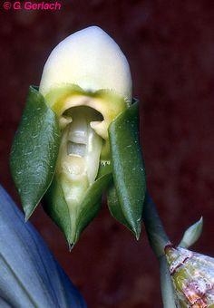 Catasetum collare