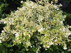 """Twist of Lime™ Variegated Abelia - Heavy blooms of fragrant white-tinged-pink clusters of trumpet shaped flowers up to 5/8 inch long appear from summer to fall. Dusty pink """"ruffs"""" of sepals past even longer after the petals are gone. This Abelia hybrid is a rounded, spreading, multi-stemmed shrub in the honeysuckle family. It typically grows on gracefully arching branches to a mature height of 4 to 5 feet."""