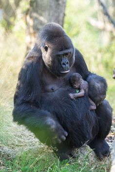 On July 16, Zoo Basel witnessed the arrival of another new Western Lowland Gorilla. It is the third birth for mom, Faddama, and it is the second offspring for dad, M'Tongé. Check out ZooBorns to learn more and see more! http://www.zooborns.com/zooborns/2015/07/another-new-addition-for-gorilla-troop-at-zoo-basel.html
