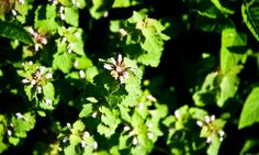 Finding Flavor in the Weeds I've never heard of anyone eating creeping Jenny before. Eat To Live, New Cookbooks, Fruit Trees, Ny Times, Garden Inspiration, Vegetable Garden, Organic Gardening, Weed, Lawn