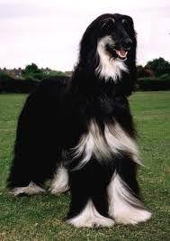 Resultado de imagem para hound dog