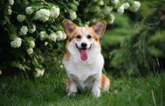 Les races de chiens les plus amicales #inspiration #musique #best #meilleur #monde #paris Corgi Husky Mix, Siberian Husky Mix, Labrador Retriever, Golden Retriever, Springer Spaniel, Cute Dogs Breeds, Dog Breeds, Yorkshire Terrier, Beagle