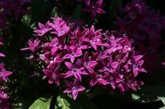 purple-pentas   check out new Butterfly Blush Pentas
