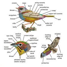 Bird Topography (Kenn Kaufman Field Guide to Birds of North America)