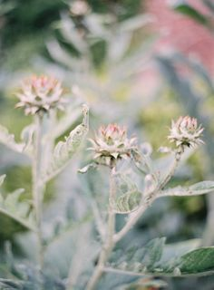 artichokes are so pretty | Photo by Jen Huang (jenhuangblog.com)