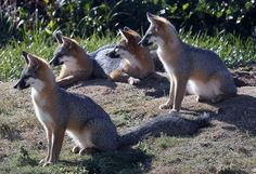 Gray Fox Kits by quickeye (Photo) | Weather Underground