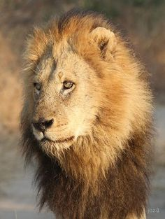 What a face❣️ Lion And Lioness, Lion Of Judah, African Cats, African Animals, Big Cats, Cute Cats, Iron Lion Zion, Gato Grande, Wild Lion