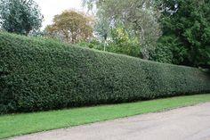 Buy English holly - Hedging Range Ilex aquifolium: Delivery by Crocus.co.uk