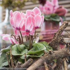 Cyclamen Scholten Pastel (©TheInspirationtable) Small Flowers, Beautiful Flowers, Conservatory Garden, Pastel, Plants, Cake, Little Flowers, Winter Garden, Tiny Flowers