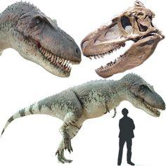 """Daspletosaurus - Tyranosaurido de aspecto temible pero más pequeño que su primo el Tyranosaurio. Por sus descubrimientos, se cree que se alimentaba principalmente de ceratópsidos. El peso estimado era de 2.5 toneladas. Poseía una enorme cabeza de 1 metro de largo, con una fila de dientes aserrados que le daban un aspecto espantoso, de ahí su nombre """"espantoso reptil carnívoro"""" Longitud: 9 metros Encontrado en Norteamérica"""