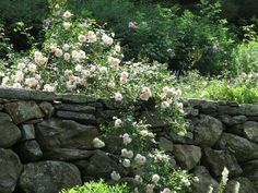Climbing Roses: An appropriately named reminder of warmer months to come: cascading New Dawn #rose, pinned to a stone wall. Deborah Nevins (Dnalandscape) on Twitter