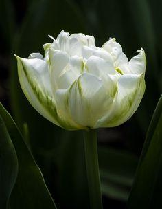 Tulip cv. 'Evita'