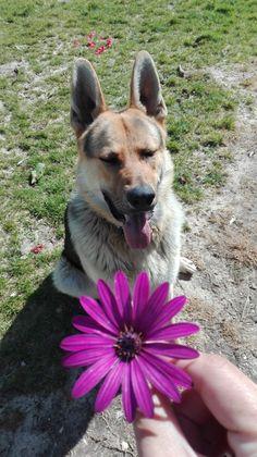My german shepherd is my sunshine.