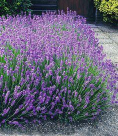 Lavendel-Hecke 'Blau'