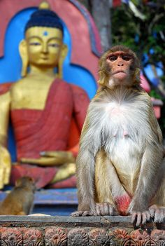 Buddha and Monkey. Photographer's Note: I guess the Swayambhunath stupa near Kathmandu is called the Monkey Temple for good reason! This monkey was very curious about my DSLR camera. At one point I got pretty close and he seemed to be mesmerized by his image reflecting from my lens. Luckily he didn't pounce. (V)