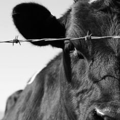 on a drive in San Diego back country, came about a few cows in pasture. they came right up to the fence, I snapped away. I won a 3rd place ribbon in the San Diego County Fair this summer with this image. moo has been good to me.