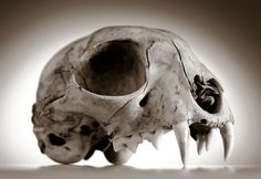 Robin Loznak Photography, LLC: Animal skulls with seamless background Animal Skeletons, Animal Skulls, Web Animal, Skull Anatomy, Cat Anatomy, Animal Anatomy, Skull Reference, Horse Rearing, Animal Bones