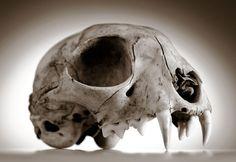 Robin Loznak Photography, LLC: Animal skulls with seamless background Cat Skull, Human Skull, Web Animal, Crane, Skull Anatomy, Cat Anatomy, Animal Anatomy, Skull Reference, Pose Reference
