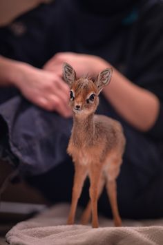 Keepers step in to hand-rear orphaned baby dik dik antelope at Chester Zoo (2)