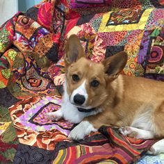 Kirby the corgi on Diane Picketts Kaffe quilt.