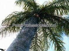 Acrocomia Aculeata palm for sale in houston texas
