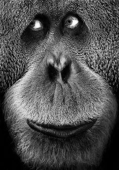 Orangutan - i am confused. i am an orangutan. Primates, Mammals, Animals And Pets, Baby Animals, Funny Animals, Cute Animals, Wild Animals, Beautiful Creatures, Animals Beautiful