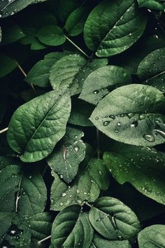 Photographer take close up photo of water drops on dark green leaves nature.