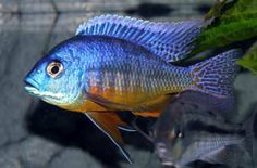 Protomelas spilonotus 'Tanzania' - 10cm (Royal, Insignus Blue Orange).