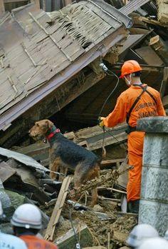 新潟県中越沖地震で倒壊した家屋付近で、行方不明者の捜索をする災害救助犬=新潟県柏崎市西本町(2007年07月17日) 【時事通信社】