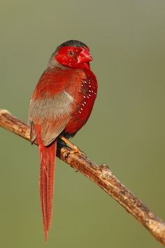 Crimson Finch. Australia's Fantastic Finches