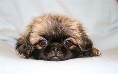 4k, Pekingese, puppy, dogs, cute animals, pets, Pekingese Dog, Lion Dogs