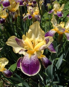inkspired musings: Iris, Iris, where are you?