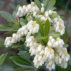 Evergreen for front border Pieris japonica Lily-Of-The-Valley Shrub Ericaceae Evergreen, Shrubs
