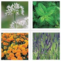 For a healthy, organic garden, pair these flowers and herbs with your favorite garden growers to improve soil, increase propagation, and keep harmful insects at bay—all without the help of chemicals. | thisoldhouse.com
