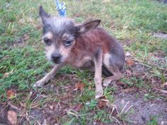This DOG - ID#A1555281    I am an unaltered female, black and brown Chihuahua mix.    The shelter staff think I am about 10 years old.    I have been at the shelter since Dec 03, 2012.    This information is less than 1 hour old.  Back  For more information about this animal, call:  Broward County Animal Care and Adoption Section - Ft. Lauderdale at (954) 359-1313  Ask for information about animal ID number A1555281