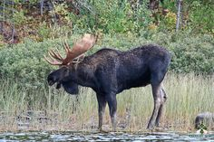 "pictures of moose | Bull Moose"" A bull moose comes to the water's edge for a drink. While ..."