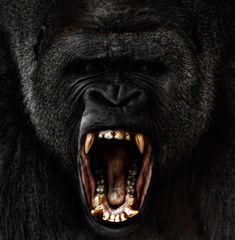 A raging male silverback gorilla.