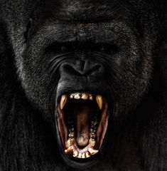 A male silverback gorilla rages at a zoo in America's Midwest. These heartfelt portraits of apes in captivity capture the faces of man's closest relatives as they express rage, pride and sadness. - by Steven Miljavac - Telegraph