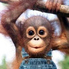 Much cuter than a human baby. I will have a baby orangatang and chimp