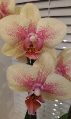 Phaelenopsis orchids