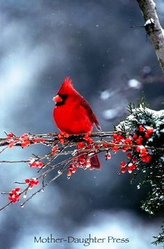 #Winter #photography ToniK  Cardinal