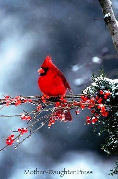 #Winter #photography ToniK Joyeux Noël #Christmas Cardinal