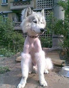 Ever feel like you got a bad haircut and no one has the guts to tell you? Poor dog, but it's pretty funny Dumb Dogs, Funny Dogs, Funny Animals, Cute Animals, Haircut Funny, Haircut Fails, Poodle Haircut, Animal Pictures, Pets