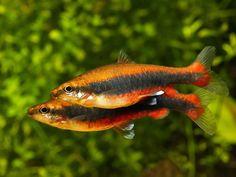 Pez lápiz. Nannostomus beckfordi. Beckfordi pencilfish