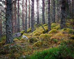 Rothiemurchus Forest   Scotland - inspiration for The Runaway Bride, a #medieval #Scottish romance by #ClaireDelacroix #Ravensmuir