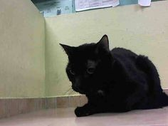 TO BE DESTROYED 4/24/15 *NYC* HANDSOME PANTHER KITTY! * Brooklyn Center * Per previous owner: Loves to play,  Enjoys Petting, Loves to cuddle & be picked up - He allows the assessor to touch him and pet him a few times before becoming quickly agitated. Curie can go to an experienced home *  My name is CURIE. My Animal ID # is A1033245. I am a neutered male black and white dom sh. I am about 4 YEARS old.   OWNER SUR on 04/15/2015 from NY 11208,  NYCHA BAN. Group/Litter #K15-010048.